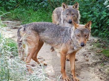 De Iberische wolf. Niet alle Spanjaarden zijn er blij mee.