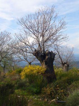 Kastanje in de buurt van Las Médulas. (lijkt op knotwilg doordat hij op dezelfde wijze is gesnoeit).