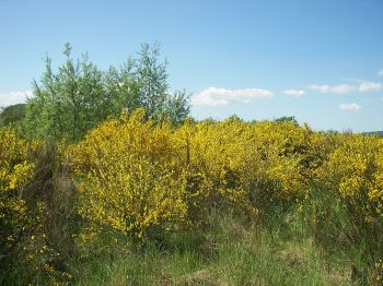 Brem groeit in de gebieden waar we geen of weinig bomen vinden.