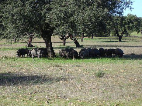 Dehesa varkens, leven een veel beter leven dan de meeste varkens in Nederland