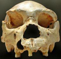 Schedel nr. 5 van de Homo heidelbergensis, gevonden op het platteland in 1992, in Sierra de Atapuerca