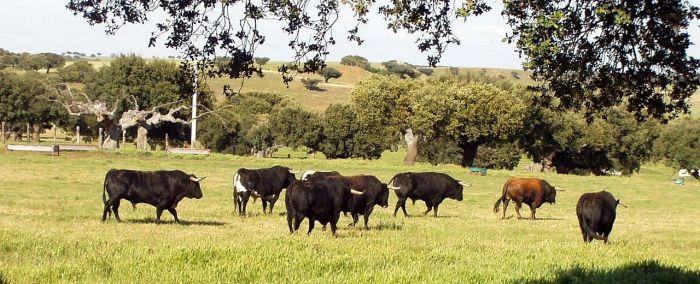 Vechtstieren in een weiland van Campo Charro, dat hoort ook bij Spanje