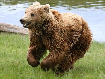Bruine beer komt voor in de Pyreneeën