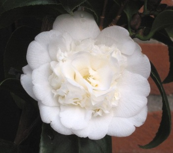 camellia_japonica-wit