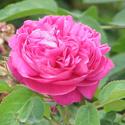 damascus-rosa-damascena_1