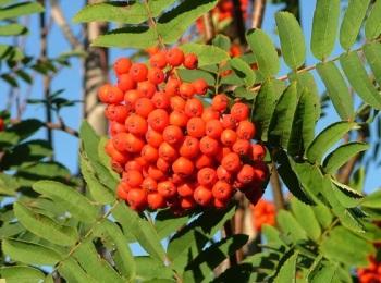 lijsterbes-vrucht