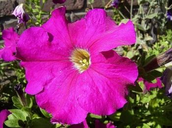 petunia-bloem-sm