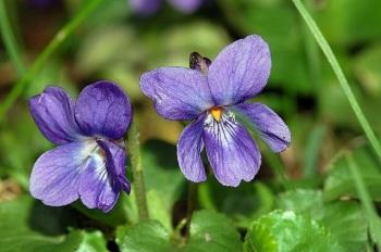 viooltje-maarts