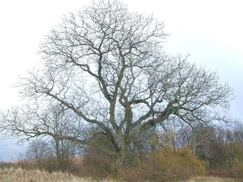 walnotenboom