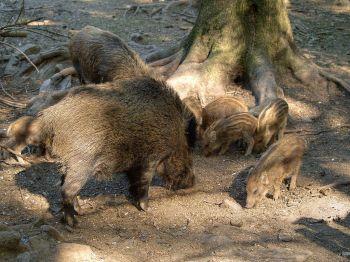 wild-zwijn