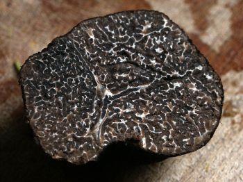 Truffel, in dit geval de soort Tuber melanosporum, de zwarte diamant van de keuken.