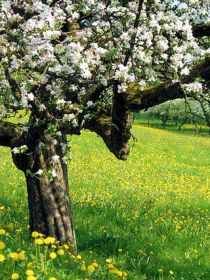 De vervanging van deze oude appelbomen voor weiland leidde tot de verdwijning van de productie van cider in deze regio.