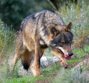 De Iberisch wolf die zeker ook in Cantabria voorkomt.
