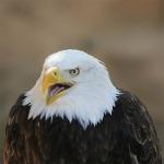 eagle_bokeh-adelaar-of-arend
