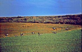 Foto van vogels (Grote trap) in het veld.