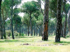 Foto van pijnboombos in de buurt van Pedrajas de San Esteban.